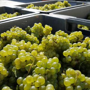 Caisse-de-raisins-sur-quai-pressoir