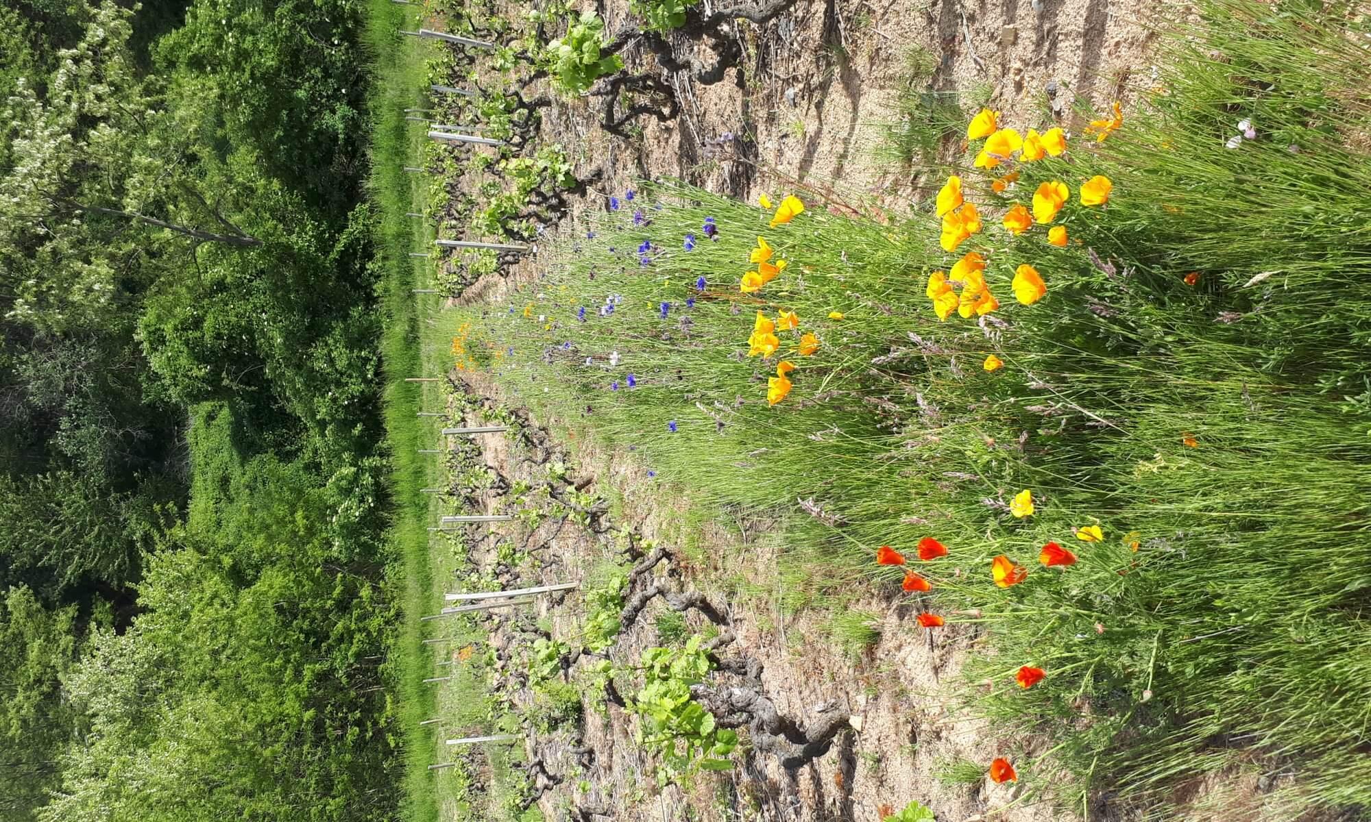 Vignes en permaculture à Brouilly Beaujolais chez Robert Perroud