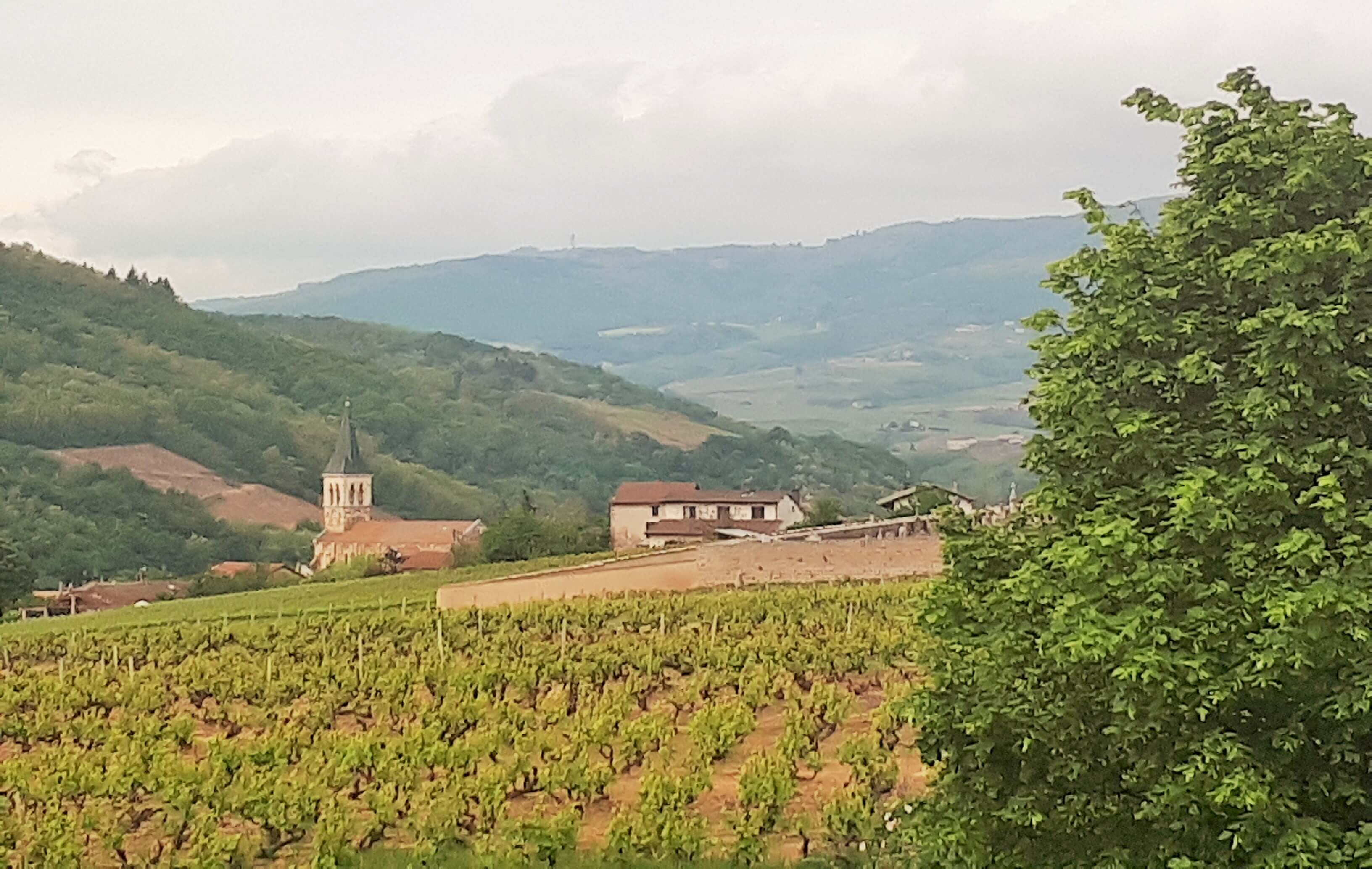 Photo de paysage de vignes à Juliénas en Beaujolais