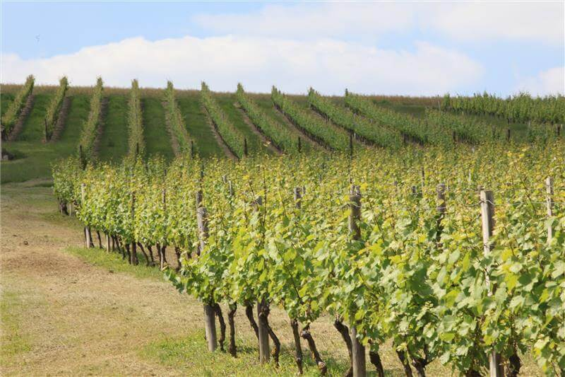 Rangée de vignes à Staint Pourçain