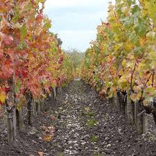 images vignes automne