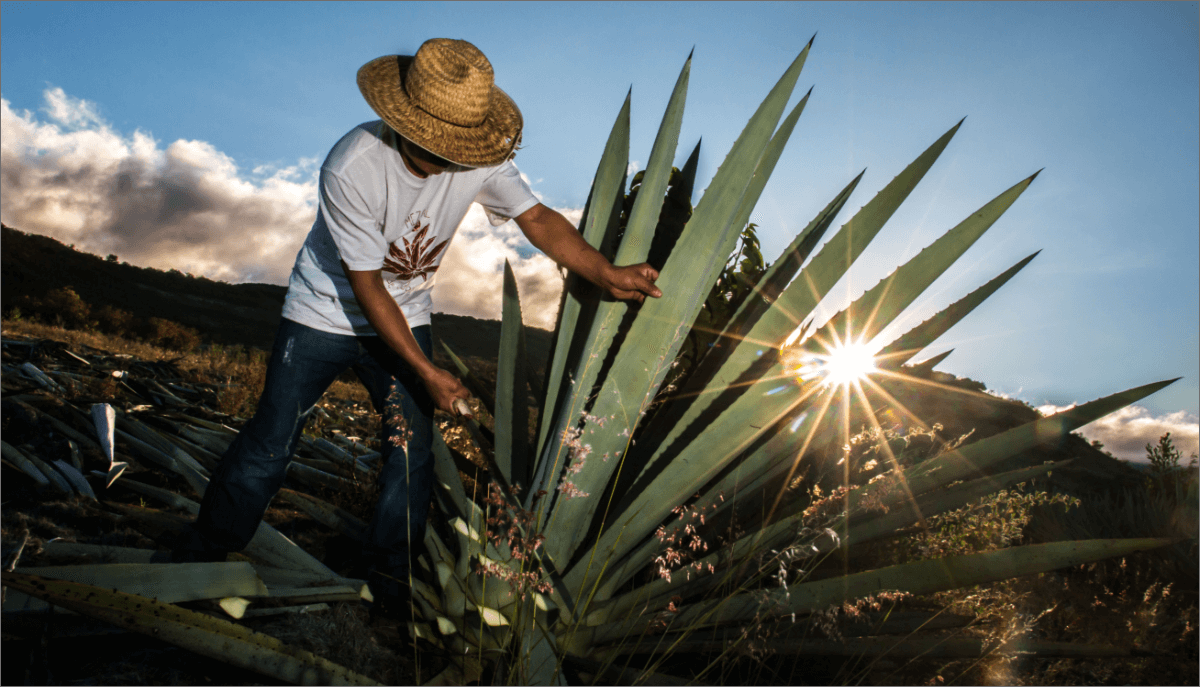 La récolte de l'Agave pour produire le mezcal