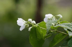 Jeunes feuilles de vignes au printemps